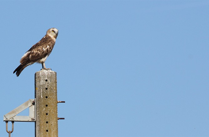 short-toed eagle on a pylon