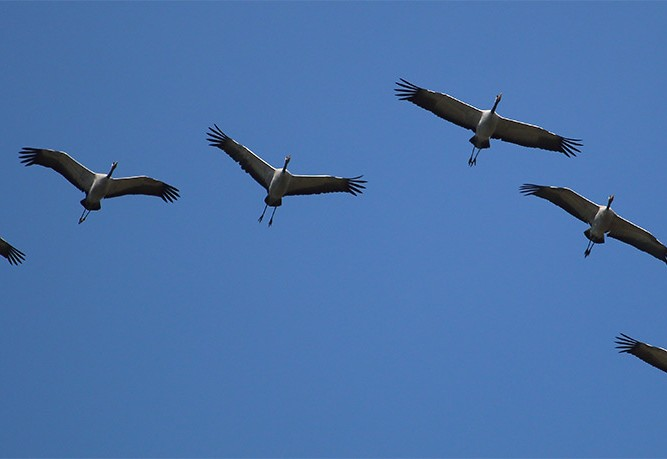Flock of cranes in flight