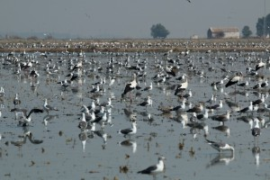 Storks and gulls in a rice field