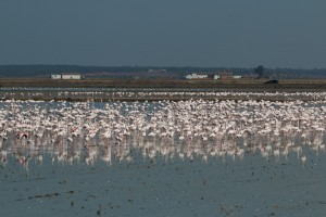 Large flock of flamingos in a rice paddy