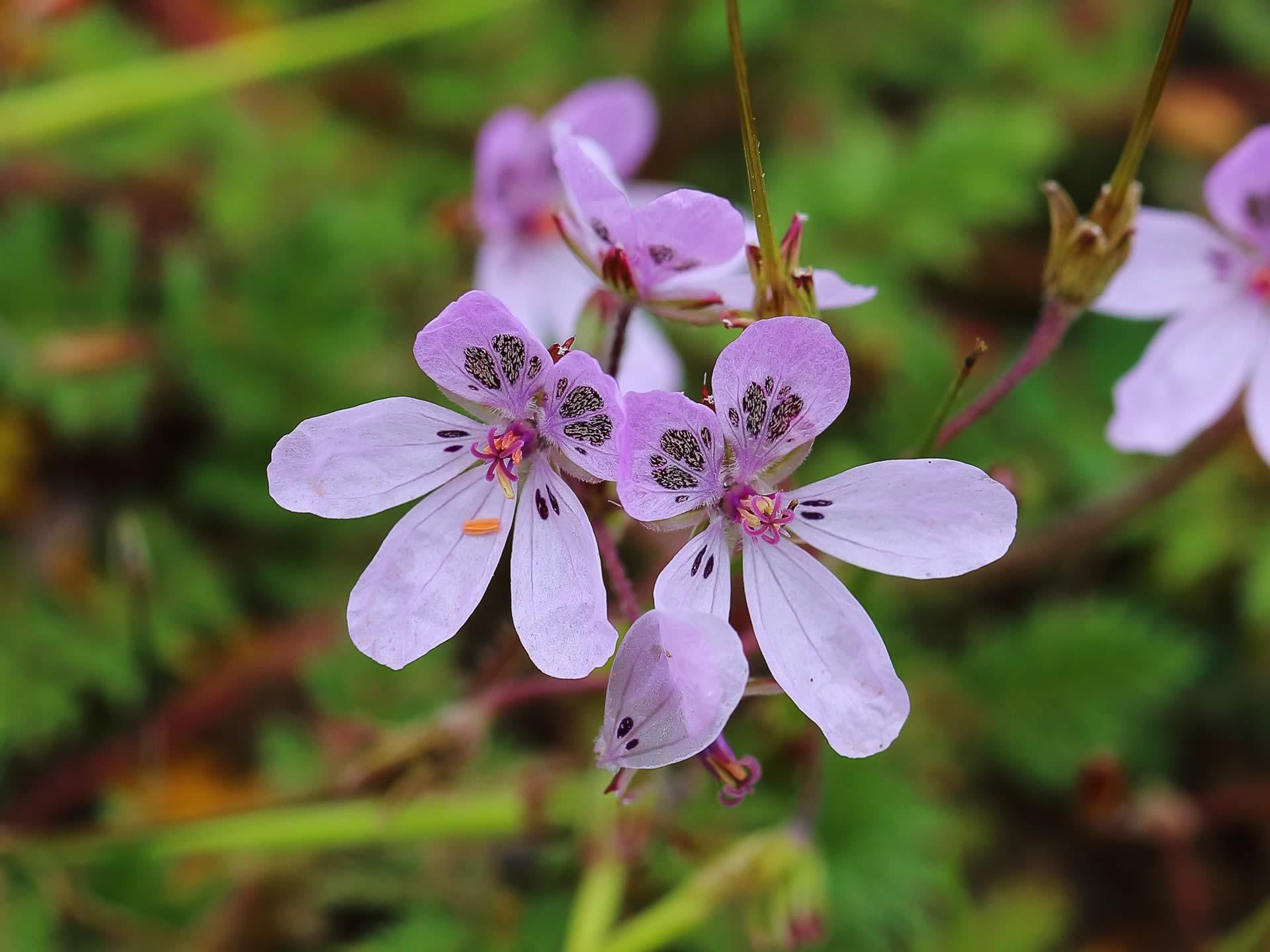 Flores de erodium primulaceum