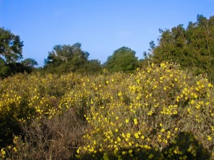 Cork oak forest and yellow rockrose bushes