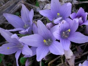 Flores de mandrágora