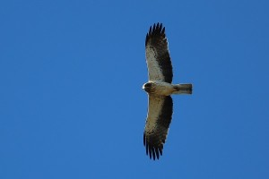 Booted eagle in flight seen from below