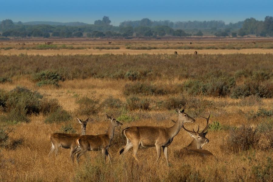 grupo de ciervos en las marismas de verano