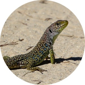 lagarto ocelado joven