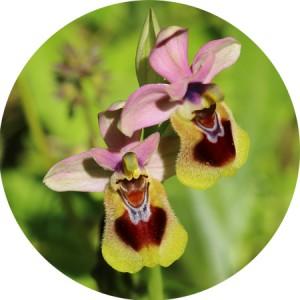 orquideas-circulo