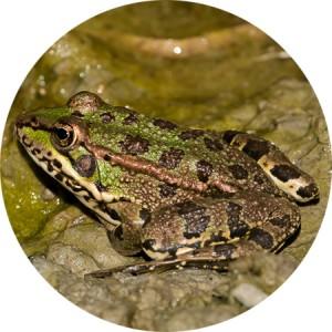 rana común