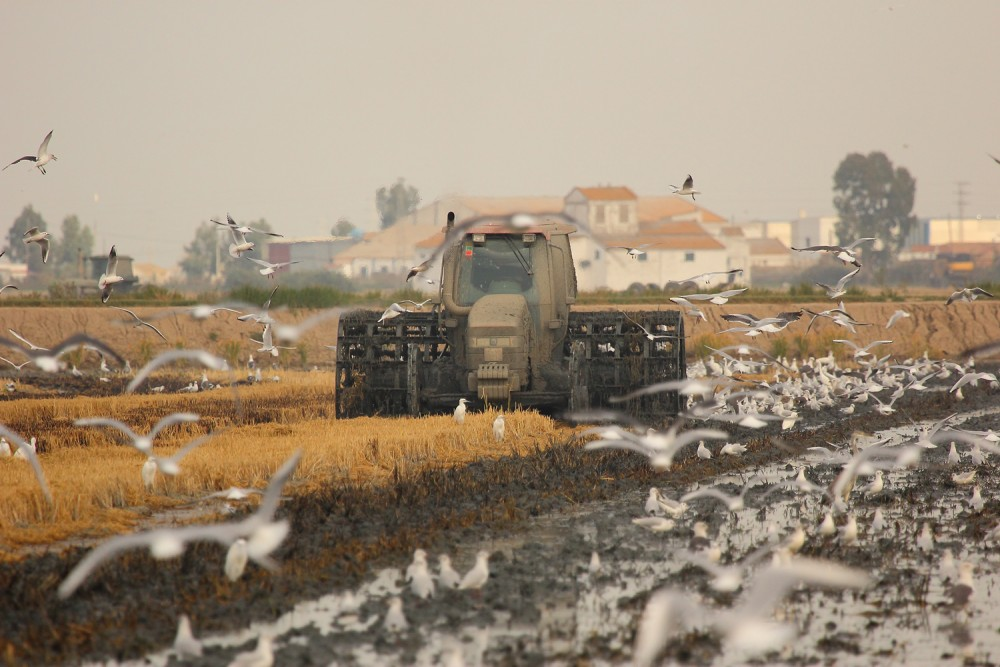 tractor ploughing a harvested rice field