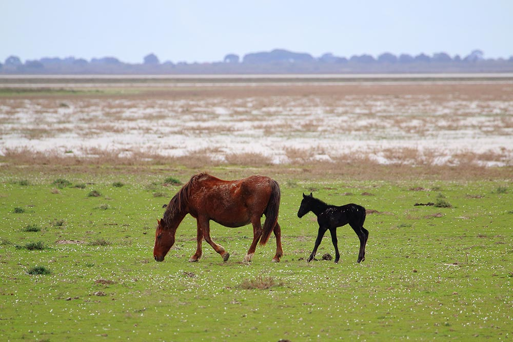 Mare and foal feeding in the marshes