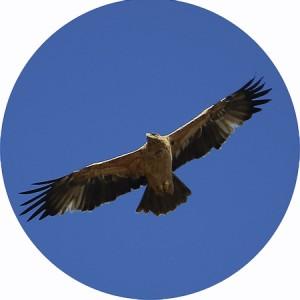 águila imperial volando