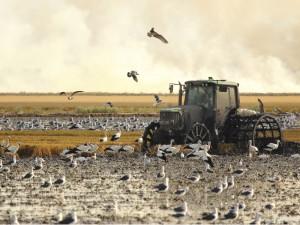 tractor fangueando en los arrozales de Isla Mayor rodeado de pájaros