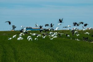 Cattle egrets and glossy ibis overflying a rice paddy
