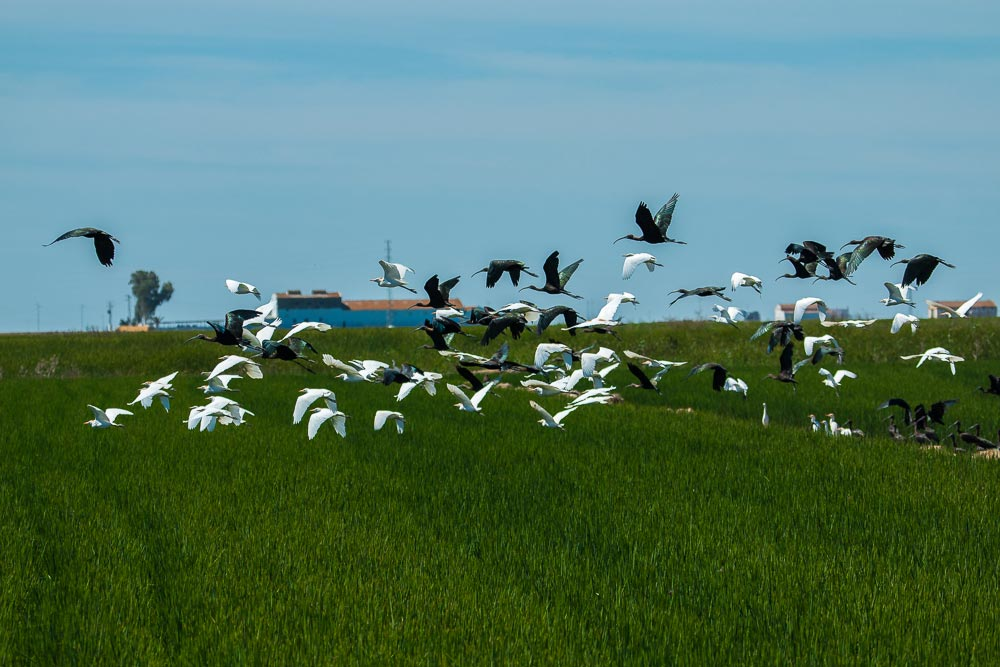 Mixed flock of cattle egrets and ibis in a rice field