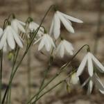 ramillete de campanillas de primavera