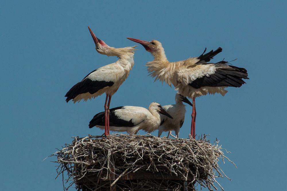 Pareja de cigüeñas en su nido con dos pollos crecidos