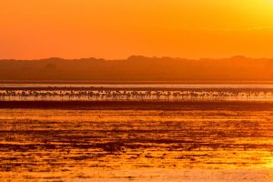 Flock of flamingos at sunset