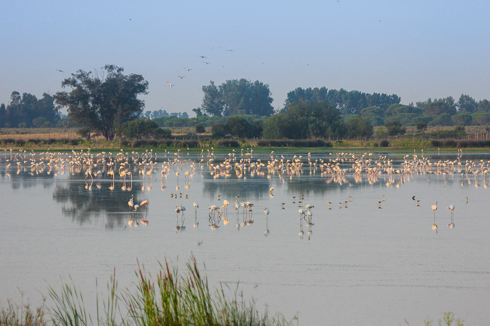 Large flock of flamingos in the marshes