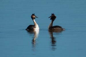 Pair of great crested grebes displaying