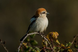 Female woodchat shrike