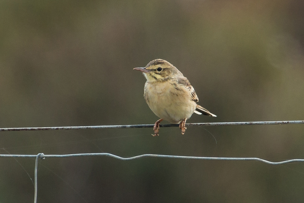 Tawny pipit perched on a wire