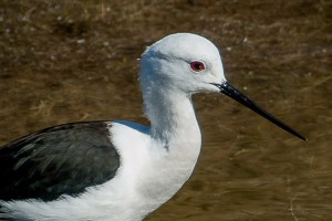 close-up of a black-winged stilt