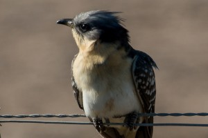 close up great-spotted cuckoo