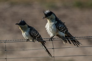 Pair of great spotted cuckoo