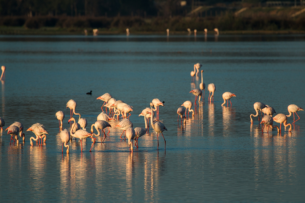 Groups of flamingos under sunrise light