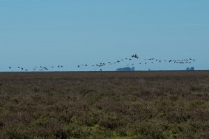 Flock of cranes flying low over the marshes