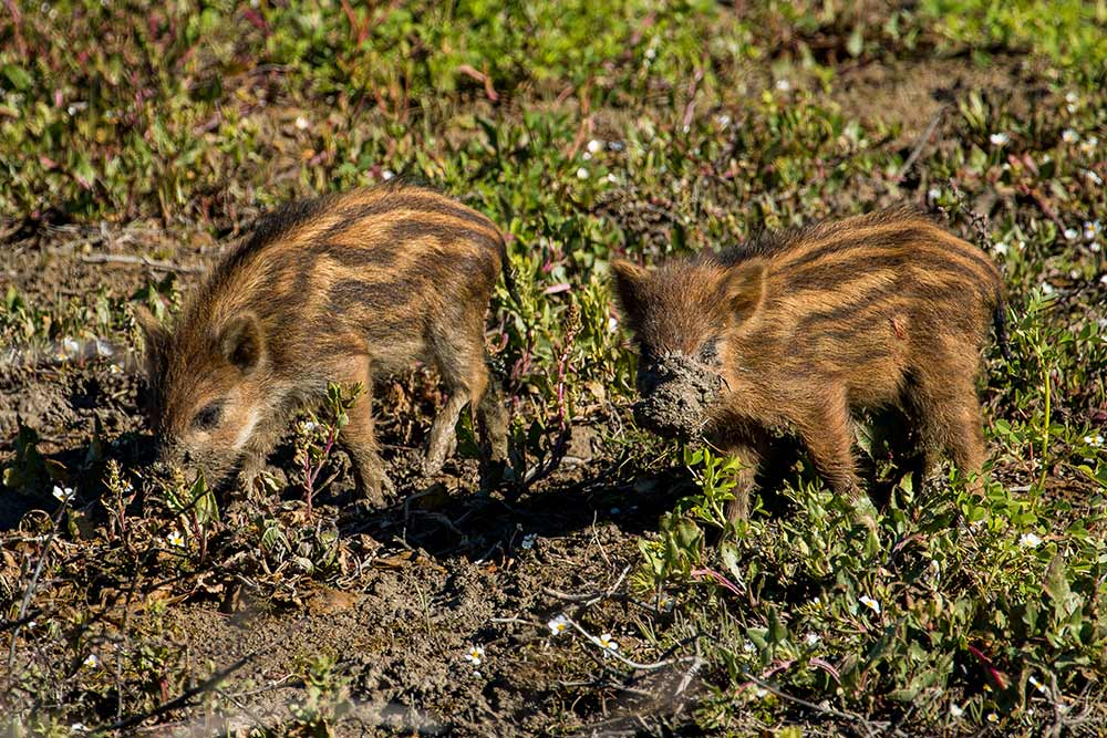 two young wild boar feeding