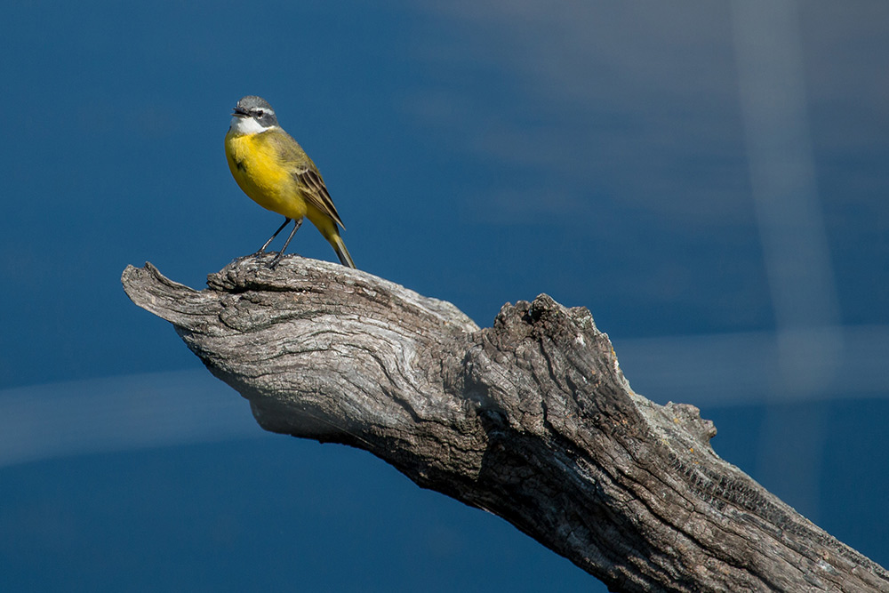 Yellow wagtail on a old fence post