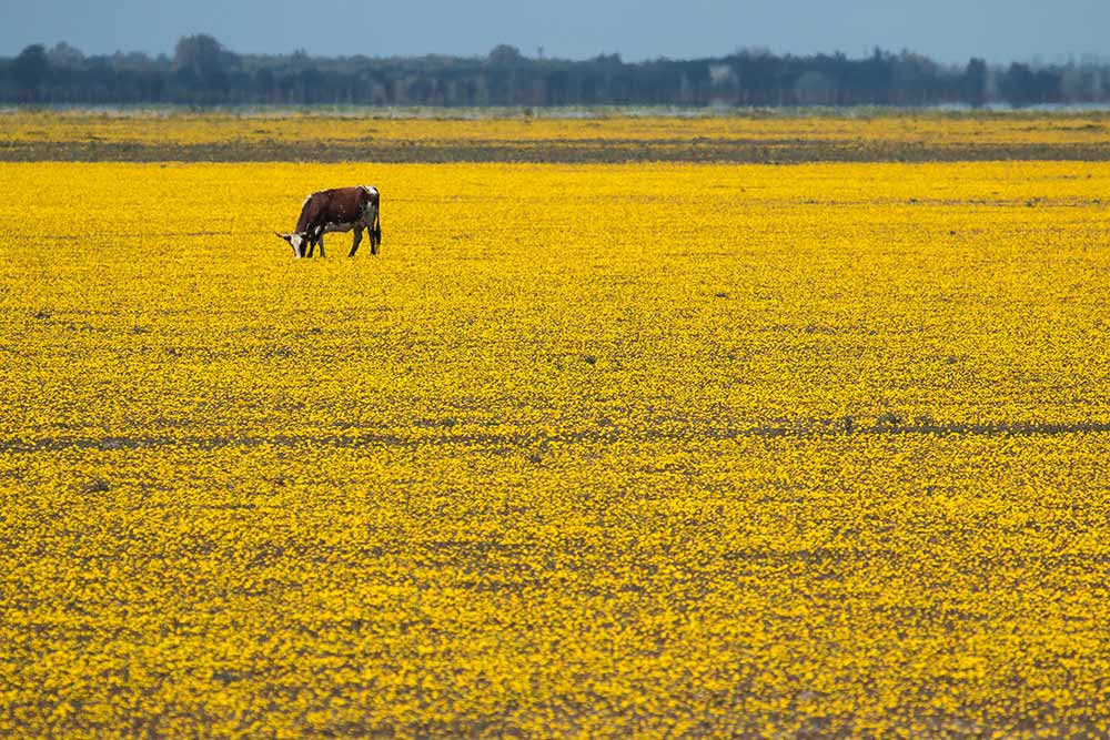 Cow and yellow flowers