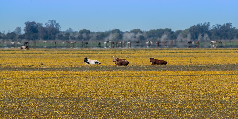 marshes with a carpet of yellow daisies and three bulls