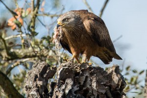 Black kite with remainings of a prey in its beak