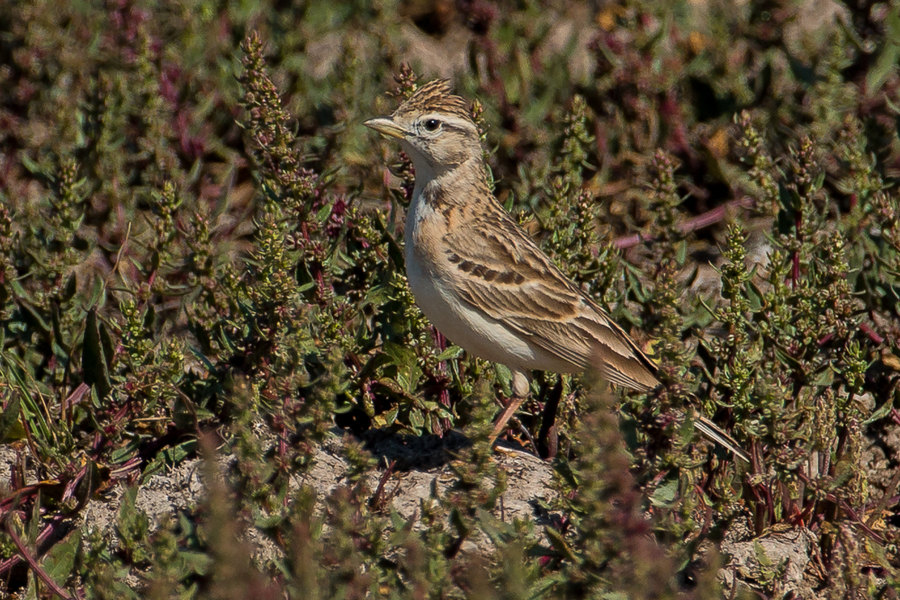 Short-toed lark close up