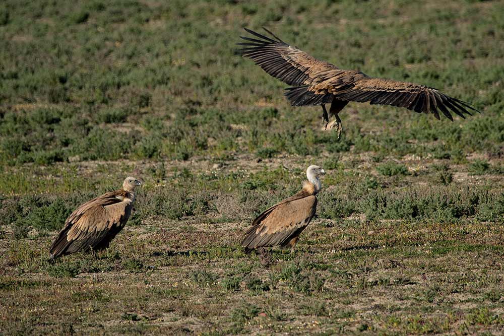 three griffon vultures on the dry marshes