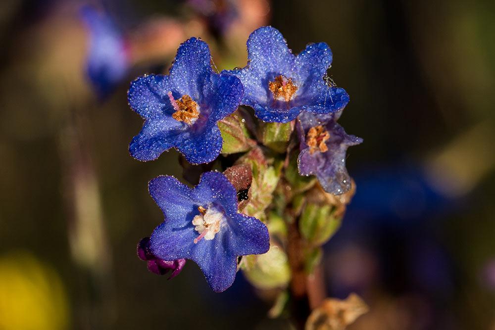 flores de la anchusa calcarea