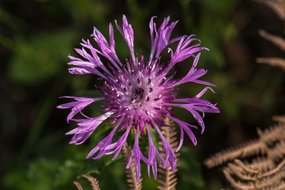 Flower of centaurea sphaerocephala