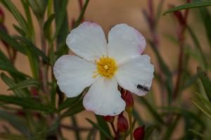 Flower of cistus libanotis