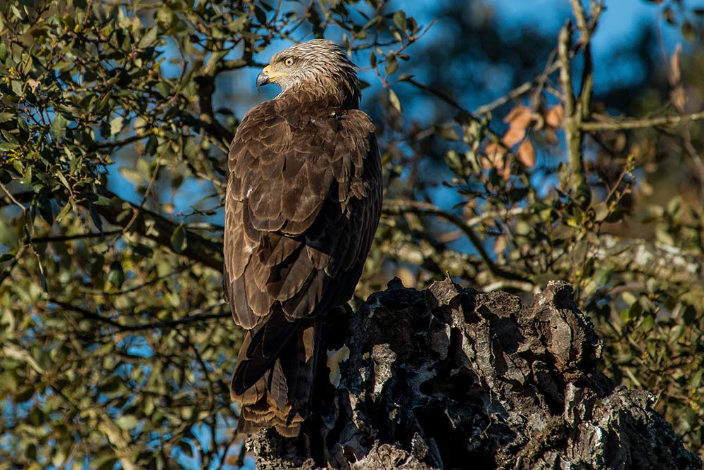 Black kite perched on a oak