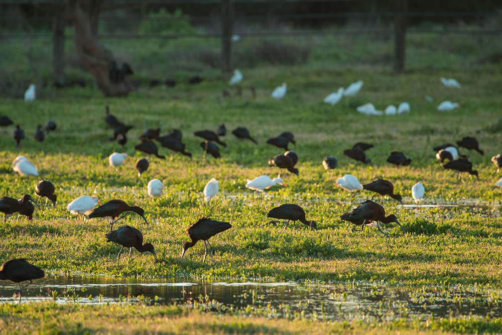 ibis and cattle egrets