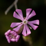 Flower of silene colorata