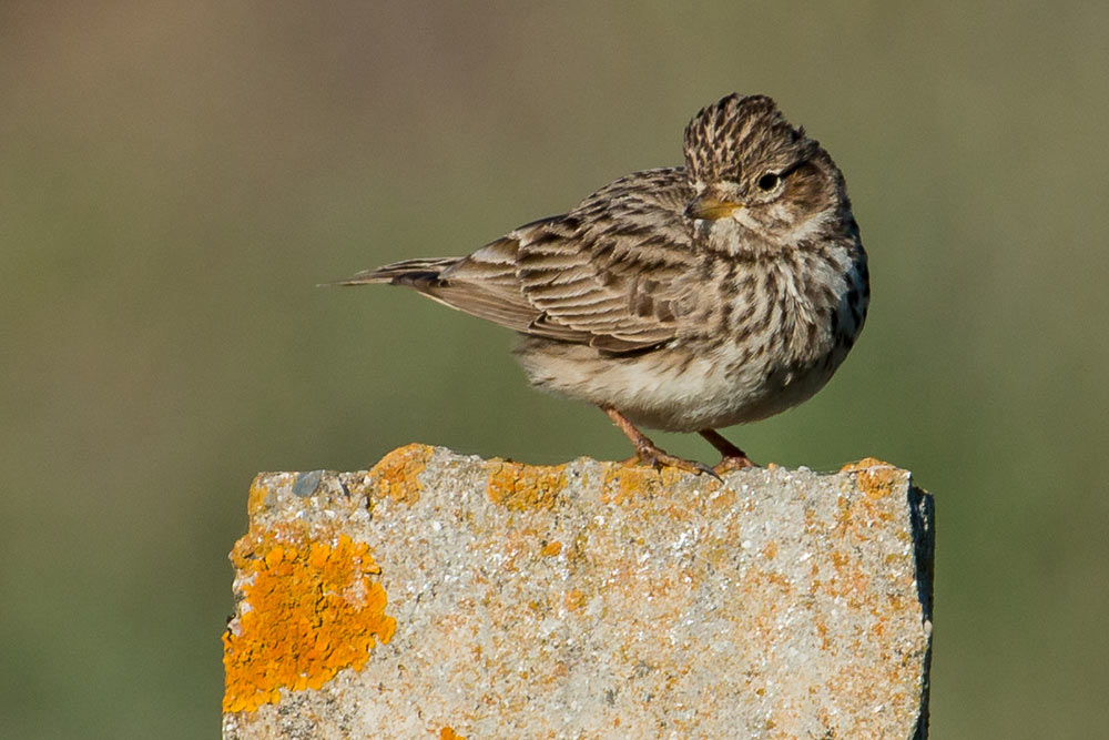 Lesser short-toed lark on a fence post
