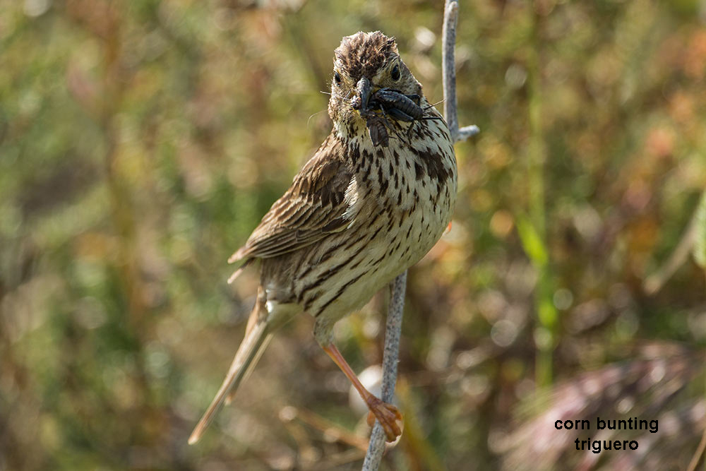 corn bunting with food in its beak for its chicks