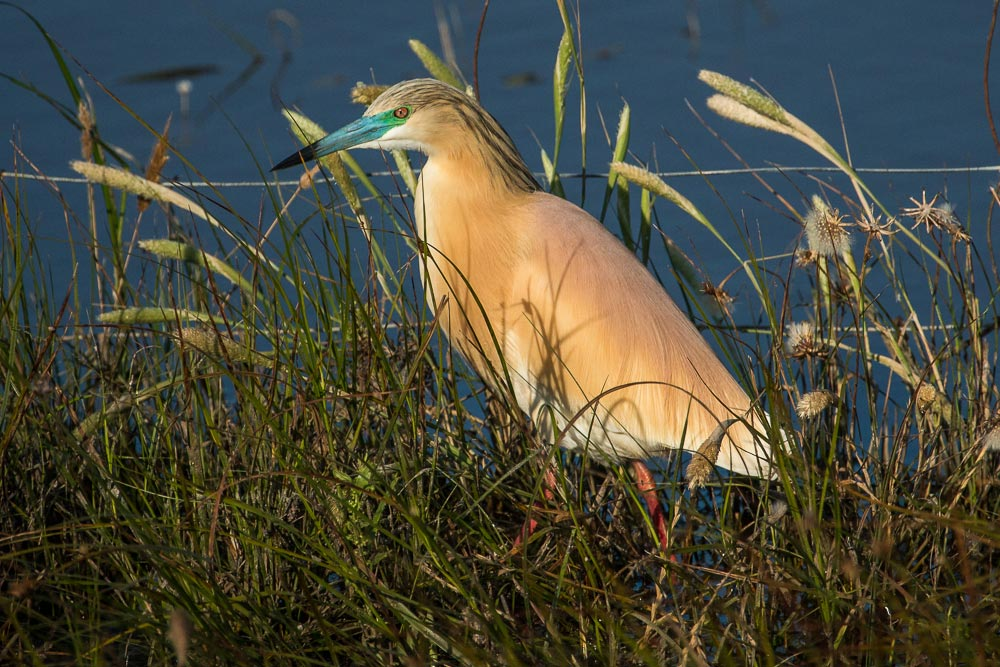 Squacco heron in full breeding plumage