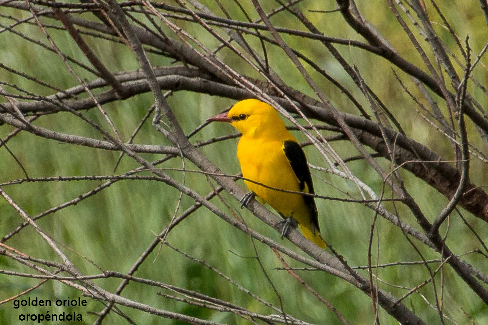 male golden oriole perched on a branch