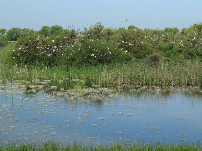 tamarisks full of egrets and ibis nests