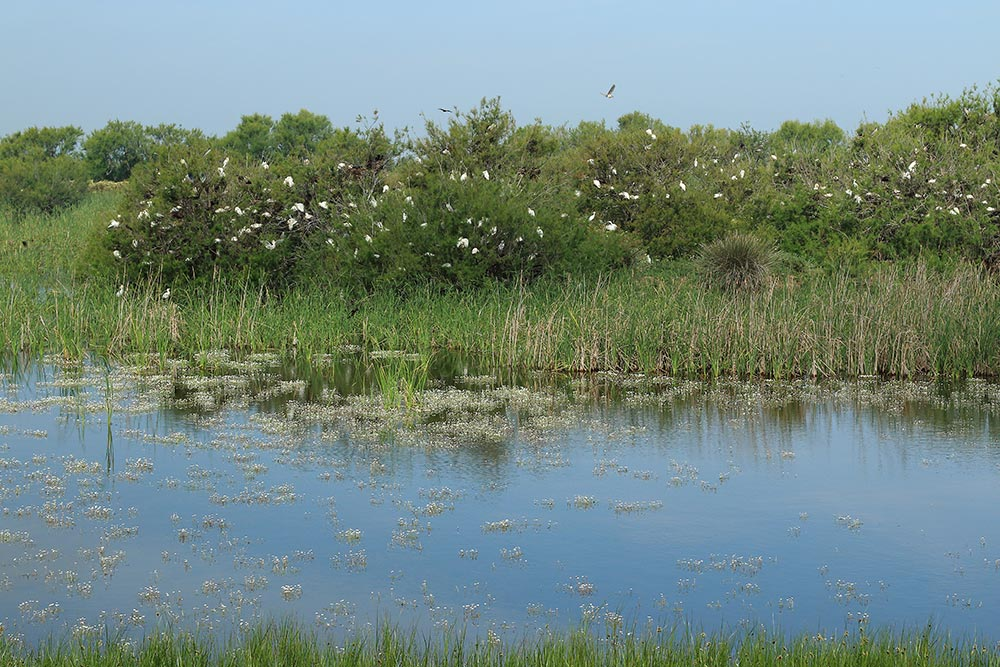 tamarisks full of egrets and ibis nests