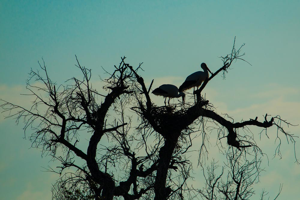 pair of white storks on their nest